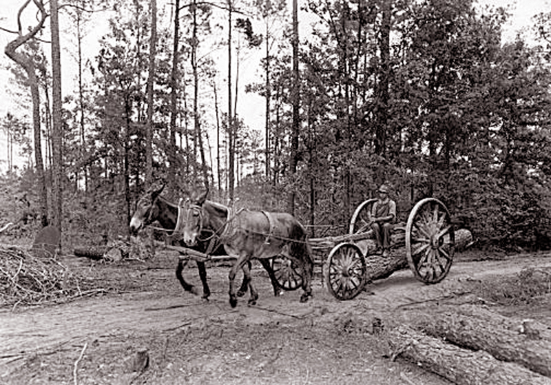 Turpentine Workers collecting sap from the Round Timber Tract