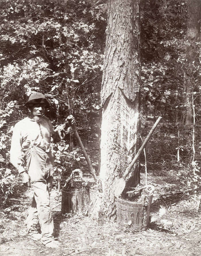 Turpentine Worker collecting sap in the Round Timber Tract