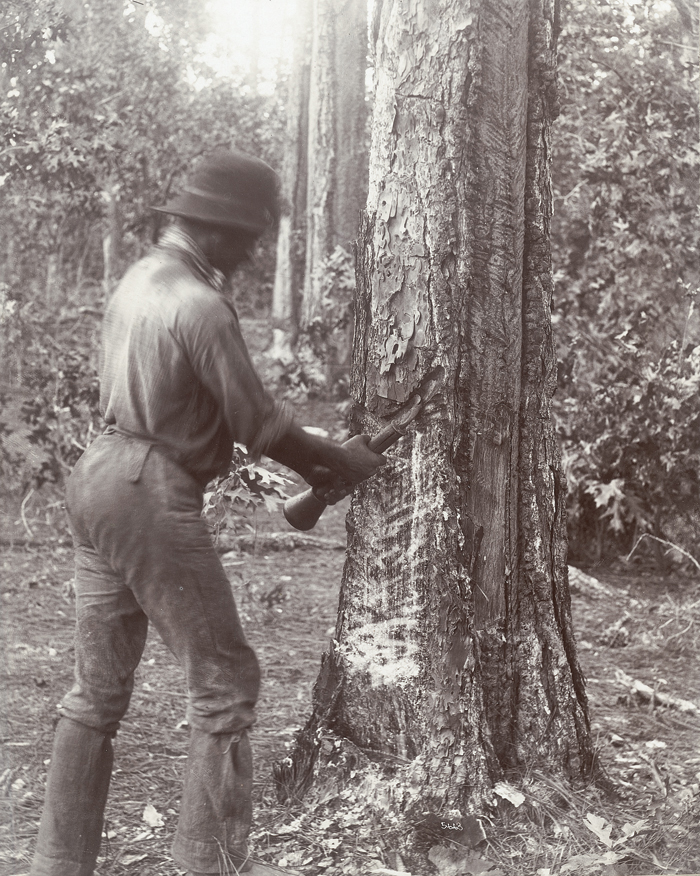 Turpentine Worker Bleeding a Longleaf Pinetree in the Round Timber Tract
